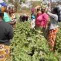 Recogiendo la cosecha de berenjenas. Foto:Manos Unidas