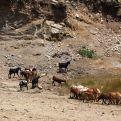 Halima da de beber al ganado