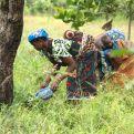 Mujeres africanas recolectando karité