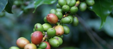 Café de las plantaciones de los pequeños caficultores de Chiapas. Foto: Manos Unidas / Javier Mármol
